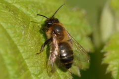 Hoplandrena scotica